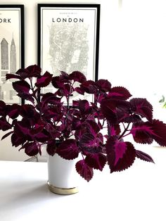 Coleus Palettblad China rose plant - All For Herbs And Plants