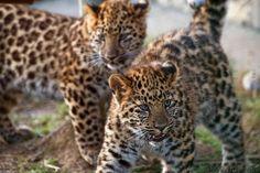 big cats | slides/IMG_3291.jpg wildlife, feline, big cat, cat, predator, fur ...