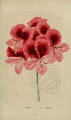 Pelargonium hort. cv. Mde Trillon Loiseleur-Deslongchamps, J.L.A., Herbier général de l'amateur. Deuxième Série, vol. 4: t. 36 (1839-50)