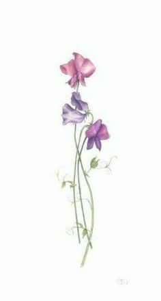 Image result for vector graphics sweet pea