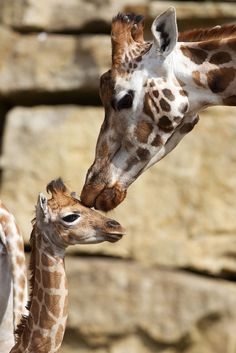 Dublin Zoo is celebrating the birth of a female Rothschild giraffe. The calf stands tall at six foot and takes after her mother Maeve with her light tan coat.