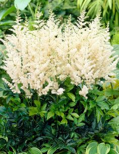 Jaloangervo Weisse Gloria - Viherpeukalot Astilbe, Large Flowers, Flower Beds, Pastel Colors, Different Colors, Environment, Landscape, Kielo, Plants