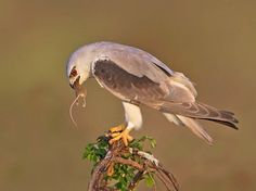 Black-winged Kite (Elanus caeruleus) - This small diurnal bird of prey in the family Accipitridae is best known for its habit of hovering over open grasslands in the manner of the much smaller kestrels. This Eurasian and African species was sometimes combined with the Australian Black-shouldered Kite (Elanus axillaris) and the White-tailed Kite (Elanus leucurus) of North and South America which together form a superspecies.