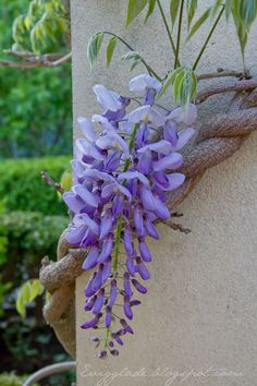 Love my wisteria.