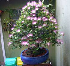 calliandra bonsai - Buscar con Google