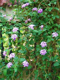 Lantana. Toxic to the touch but blooms from summer to fall