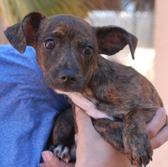 05/31/2016 Adopt PUPPY dog, Alex is an adorable Chi-Weenie (Chihuahua & Dachshund) puppy who loves hearing you tell him that he is a sweet little wonder. He is 3 months of age, neutered, good with other dogs, and debuting for adoption today at Nevada SPCA (www.nevadaspca.org). Alex was found on the streets with no sign of responsible ownership (no ID tag, no microchip ID, not neutered).