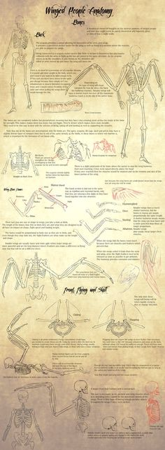 Winged People Anatomy: Bone Structure. by Blue-Hearts on DeviantArt
