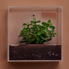 Shaila Frame with Jade Plant. The clean-lined Shaila Plexiglass frame gives you a view not only of the plant it contains but of the soil the plant is growing in. Perfect for small spaces—it gives bathrooms a spa-like ambience—it's best for jade plants. $190.00