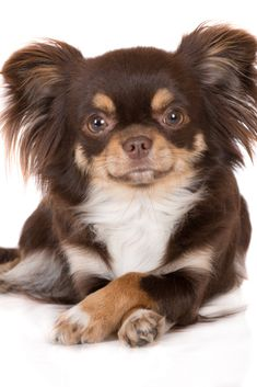 Brown tricolor dog lying down with crossed paws on white Chihuahua Facts, Long Haired Chihuahua, Chihuahua Puppies, Dogs And Puppies, Chihuahuas, Puppies Tips, Brown Chihuahua, Cockapoo Puppies, Dog Poses