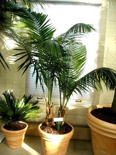 Почему у пальмы сохнут листья?  Многие цветоводы задаются вопросом. «Почему у пальмы сохнут листья?» Попробуем разобраться. Фото: © wkfplants