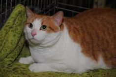 Lilly is an adoptable Domestic Short Hair - Orange And White Cat in Germantown, MD. Lily is a sweet kitty - she is a people pleaser! She loves to be petted and brushed, plays with interactive toys and...