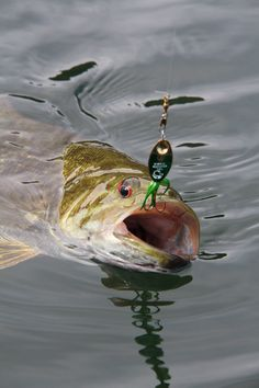 """This smallmouth couldn't resist a Rooster Tail!"" #HaugenGearPicks"