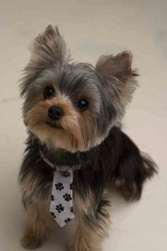 db14f09c Yorkshire Terrier Puppies are the cutest dogs in the world that come from  Yorkshire England!