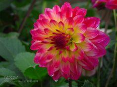 Dahlie (Viktorix) #Canon PowerShot SX540 HS #macro #photo #insect #nature