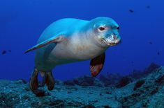 The Hawaiian Monk Seal is a Critically Endangered seal native to the Hawaiian Islands. The greatest threats to this species survival include being caught accidentally, shark predation, pollution, and habitat destruction.