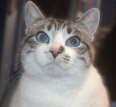 Blue eyed cat.  Beautiful