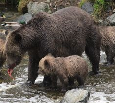 One of our clients took this amazing photo of Grizzly bears during their stay in Canada