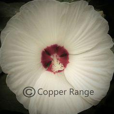 Glory - Hibiscus Glow - Copyright Copper Range LLC