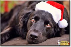 Read Rylee's story the German Shepherd, Flatcoated Retriever from California and see her photos at Dog of the Day http://DogoftheDay.com/archive/2013/December/30.html .