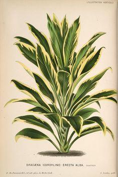 L'Illustration horticole :. Gand, Belgium :Imprimerie et lithographie de F. et E. Gyselnyck,1854-1896.. biodiversitylibrary.org/page/15949082