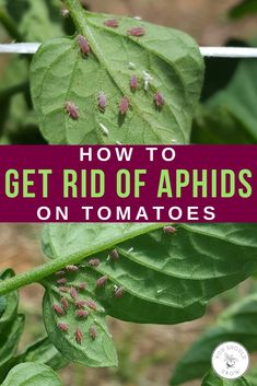 pest control methods that really work! Pest control for tomatoes: how to get rid of aphids. Organic pest control tips from Pest control for tomatoes: how to get rid of aphids. Organic pest control tips from Slugs In Garden, Garden Bugs, Garden Pests, Box Garden, Garden Insects, Garden Ideas, Growing Tomatoes From Seed, Growing Tomatoes In Containers, Growing Vegetables
