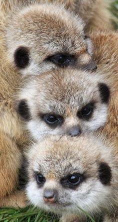 Love watching Meerkat Manor on Animal Planet. Cute Creatures, Beautiful Creatures, Animals Beautiful, Nature Animals, Animals And Pets, Wild Animals, Cute Baby Animals, Funny Animals, Animal Pictures