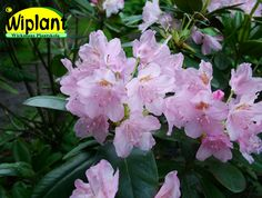 Rhododendron tigerstedtii-gruppen 'Pekka', rhododendron. Höjd: 2-3 m. Zon IV.