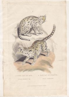 "Georges Cuvier: Tiger Cat of Java ($35) - Georges Cuvier: Tiger Cat of Java/ Cape Cat of Foster  Antique Print. Circa 1800s  Double-image hand-coloured copper graving from first English edition of Baron Cuvier's renowned ""Animal Kingdom"". Mounted on acid-free mat."