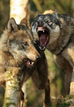 Wolf Images, Wolf Photos, Animals And Pets, Baby Animals, Cute Animals, Wild Animals, Snarling Wolf, Angry Wolf, Wolf Artwork
