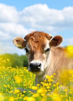 Port Meadow cow.  photography from photography talk: http://www.photographytalk.com/