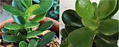 Cuidados del popular árbol de Jade que todos queremos