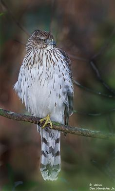 Cooper's Hawk (Accipiter cooperii) is a medium-sized hawk native to the North American continent and found from Southern Canada to Northern Mexico