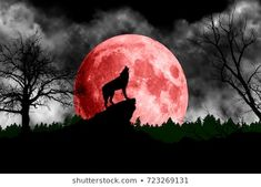 Wolf howling at the red moon Wolf Images, Art Images, Wolf Wallpaper, Magical Forest, Red Moon, Blood Moon, Wolf Howling, Nature Scenes, Royalty Free Images