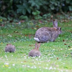 Mama cottontail with two baby bunnies Wild Bunny, Wild Rabbit, Pet Rabbit, Ruby Rabbit, Rabbit Food, Baby Bunnies, Cute Bunny, Kawaii Bunny, Bunny Rabbits
