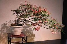 Bonsai/ ko-mayumi (Spindle tree)