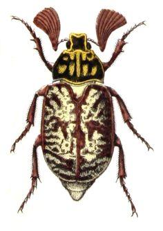 Polyphylla fullo male from Calwer's Käferbuch: Naturgeschichte der Käfer Europas, Table 18, (1876), by Carl Gustav Calwer a...