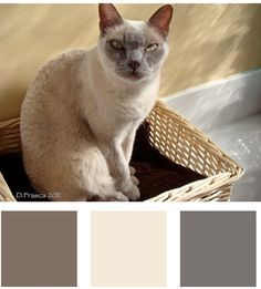 Love the silvery grays of this Burmese cat. Striking kitchen color to!
