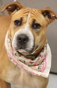 RESCUED>NAME: Ruby  ANIMAL ID: 34417674  BREED: Sharpei mix  SEX: female(spayed)  EST. AGE: 2 yr  Est Weight: 40 lbs  Health: heartworm pos  Temperament: dog friendly, people friendly- kid friendly  ADDITIONAL INFO: returned adoption- too active  RESCUE PULL FEE: $35  Intake date: 2/16  Available: Now