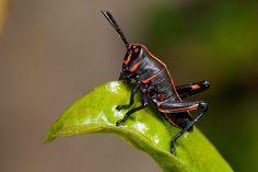 Black Devil (grasshopper)