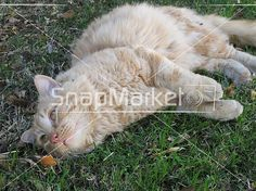 Stock Photo, Image or Illustration of A Cat In The Grass