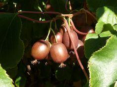 "Kiwi ""Ken's Red"" - samica, Koreninová a liečivá záhrada Kiwi, Fruit, Vegetables, Red, The Fruit, Vegetable Recipes, Rouge"