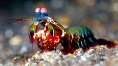 Mantis shrimp These marine crustaceans are members of the order Stomatopoda. Mantis shrimps have powerful claws that they use to attack and kill prey by spearing, stunning, or dismemberment. When kept in captivity, some larger species are capable of breaking through aquarium glass with a single strike.