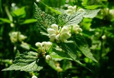 In traditional medicine did decoctions and infusions of a deaf nettle. Medicinal properties also juice of a yasnotka has (especially at nasal bleeding! Herbs For Health, Herbal Medicine, Bushcraft, Home Remedies, Herbalism, Dandelion, Garden, Flowers, Plants