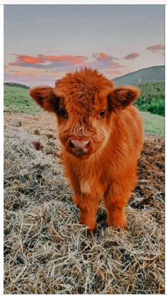 Cute Baby Cow, Baby Animals Super Cute, Cute Wild Animals, Cute Cows, Cute Little Animals, Cute Funny Animals, Animals Beautiful, Happy Animals, Cow Pictures