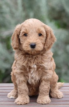 We are known for our happy and healthy multigenerational Australian Labradoodle puppies with soft wavy fleece coats and outstanding personalities.