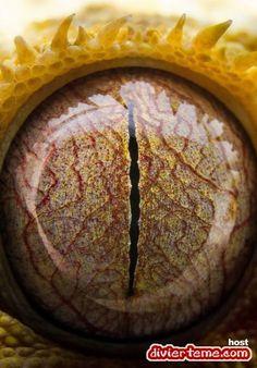 Eye of a gecko close up Reptile Eye, Regard Animal, Crested Gecko, Fotografia Macro, Crazy Eyes, Look Into My Eyes, Dragon Eye, Reptiles And Amphibians, All About Eyes