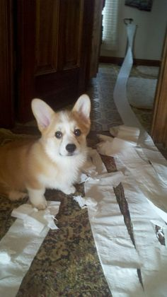 Corgi - look what I found!