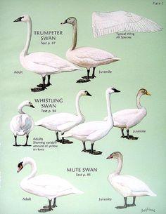 Trumpeter Swan Whistling Swan Mute Swan White by mysunshinevintage, $10.00