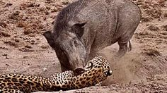 arizona hog hunting - YouTube Wild Boar Hunting, Hog Hunting, Big Game Hunting, Animal Pick, Arizona, Amphibians, Reptiles, Indian Elephant, Nature Photography